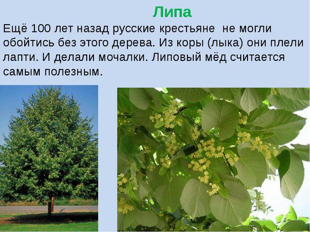 Липа Ещё 100 лет назад русские крестьяне не могли обойтись без этого дерева....