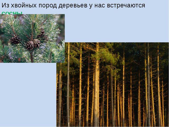 Из хвойных пород деревьев у нас встречаются сосны.