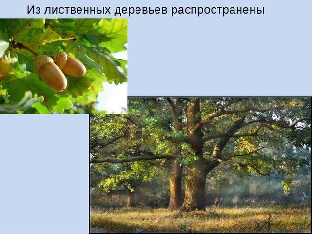 Из лиственных деревьев распространены дубы.