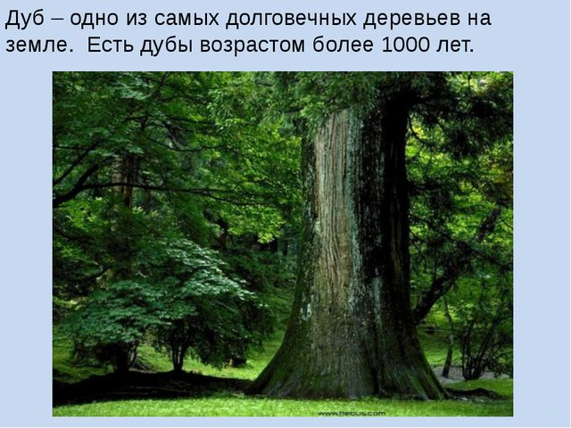 Дуб – одно из самых долговечных деревьев на земле. Есть дубы возрастом более...