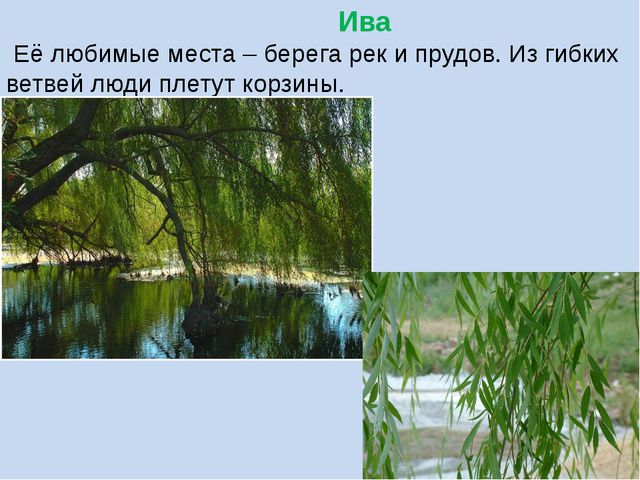 Ива Её любимые места – берега рек и прудов. Из гибких ветвей люди плетут кор...