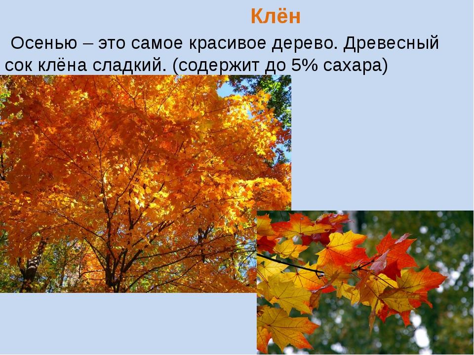 Клён Осенью – это самое красивое дерево. Древесный сок клёна сладкий. (содер...