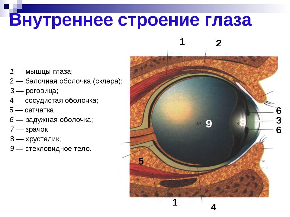 Внутреннее строение глаза 2 6 6 3 4 5 7 8 9 1 1 1 — мышцы глаза; 2 — белочная...
