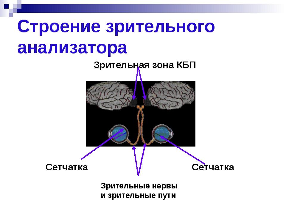 Строение зрительного анализатора Сетчатка Сетчатка Зрительные нервы и зритель...