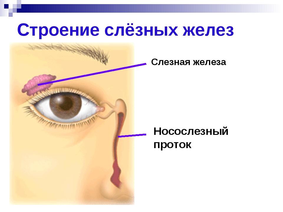 Строение слёзных желез Слезная железа Носослезный проток