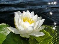 C:\Users\HP\Desktop\АРДАК\корнекилик\растение\лилия вод1.jpg