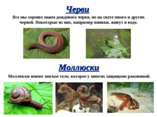 Черви Все мы хорошо знаем дождевого червя, но на свете много и других червей.