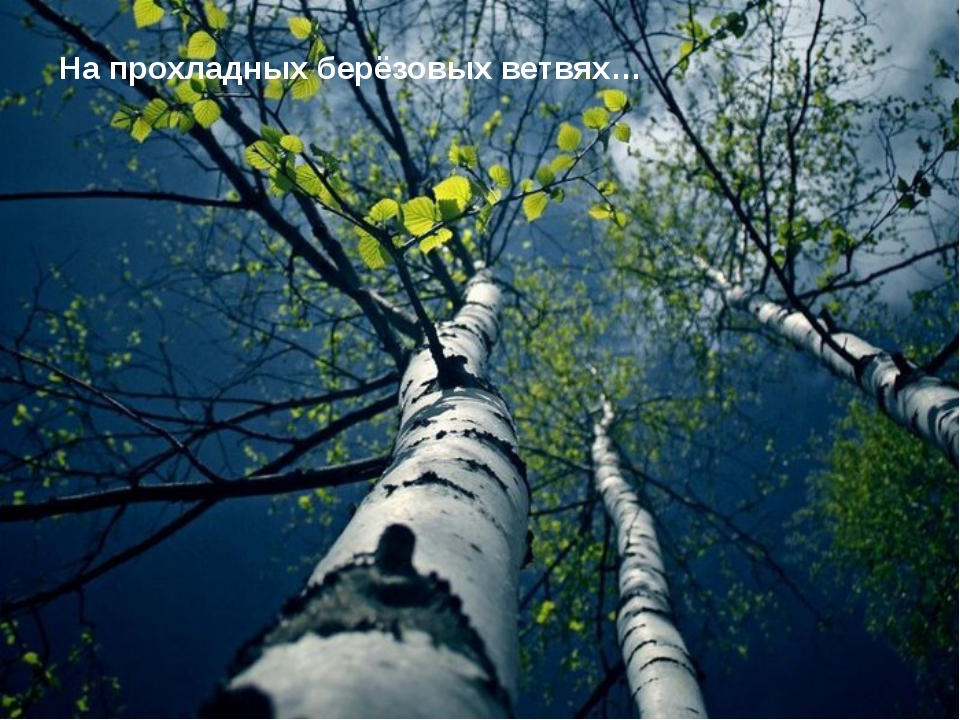 На прохладных берёзовых ветвях…