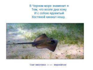 Скат хвостокол, он же - морской кот В Черном море знаменит я Тем, что возле