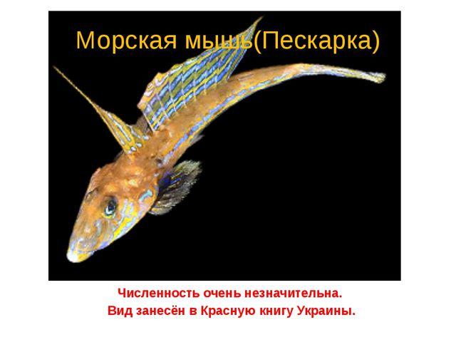 Морская мышь(Пескарка) Численность очень незначительна. Вид занесён в Красную...