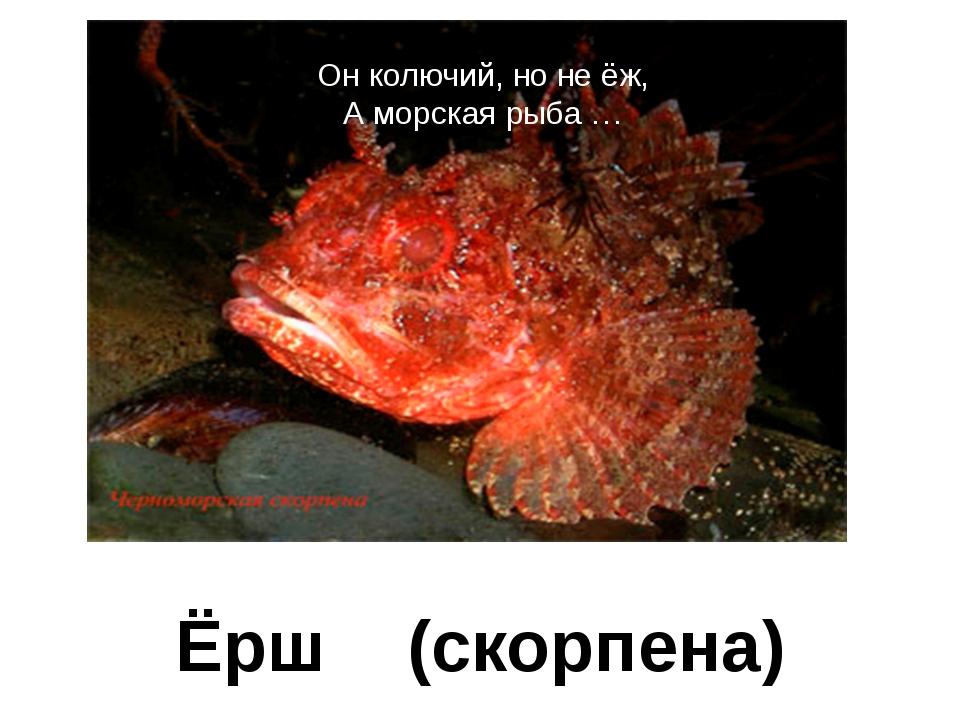 Он колючий, но не ёж, А морская рыба … Ёрш (скорпена)