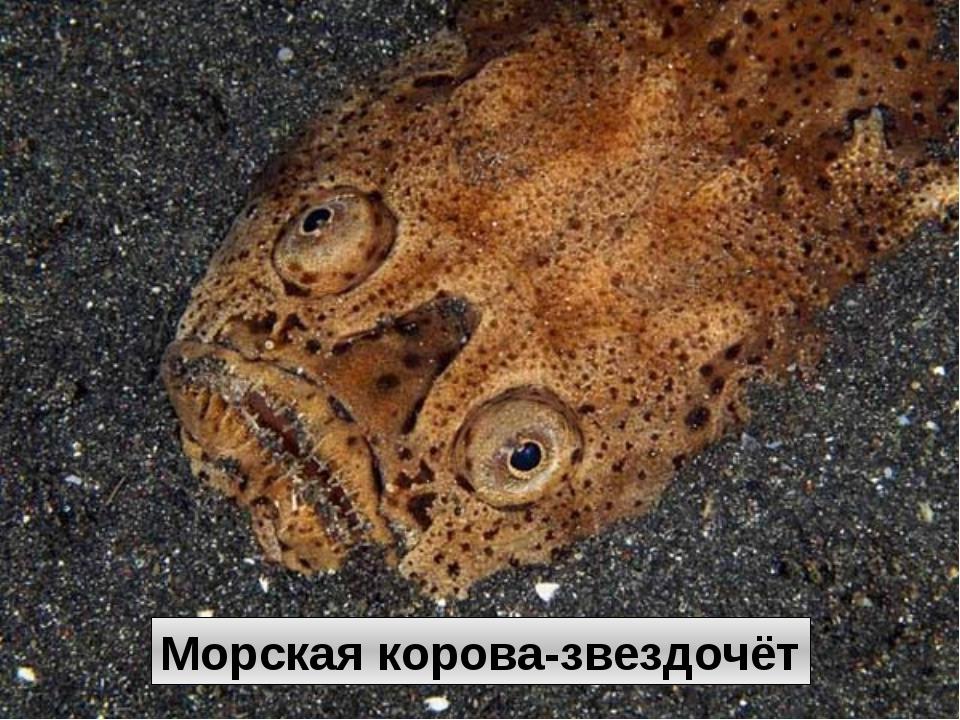 Морская корова-звездочёт