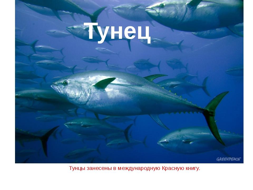 Тунцы занесены в международную Красную книгу. Тунец