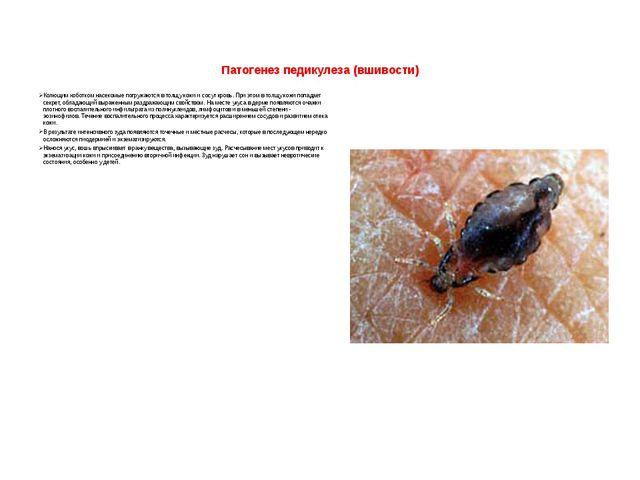 Патогенез педикулеза (вшивости)  Колющим хоботком насекомые погружаются в то...