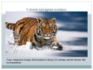Самая крупная кошка. Тигр. Амурские тигры достигают в длину 3,5 метра, весят