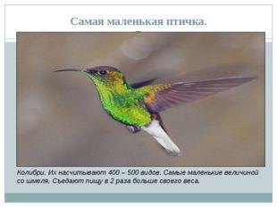 Самая маленькая птичка. Колибри. Их насчитывают 400 – 500 видов. Самые малень