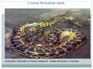 Самая большая змея. Анаконда. Обитает в Южной Америке. Самая длинная 8, 5 мет