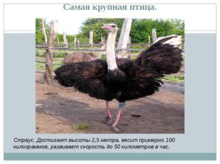 Самая крупная птица. Страус. Достигает высоты 2,5 метра, весит примерно 100 к