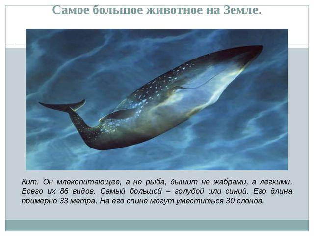 Самое большое животное на Земле. Кит. Он млекопитающее, а не рыба, дышит не...