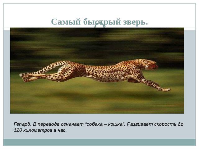 """Самый быстрый зверь. Гепард. В переводе означает """"собака – кошка"""". Развивает..."""