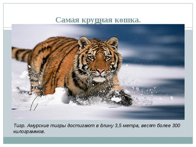 Самая крупная кошка. Тигр. Амурские тигры достигают в длину 3,5 метра, весят...