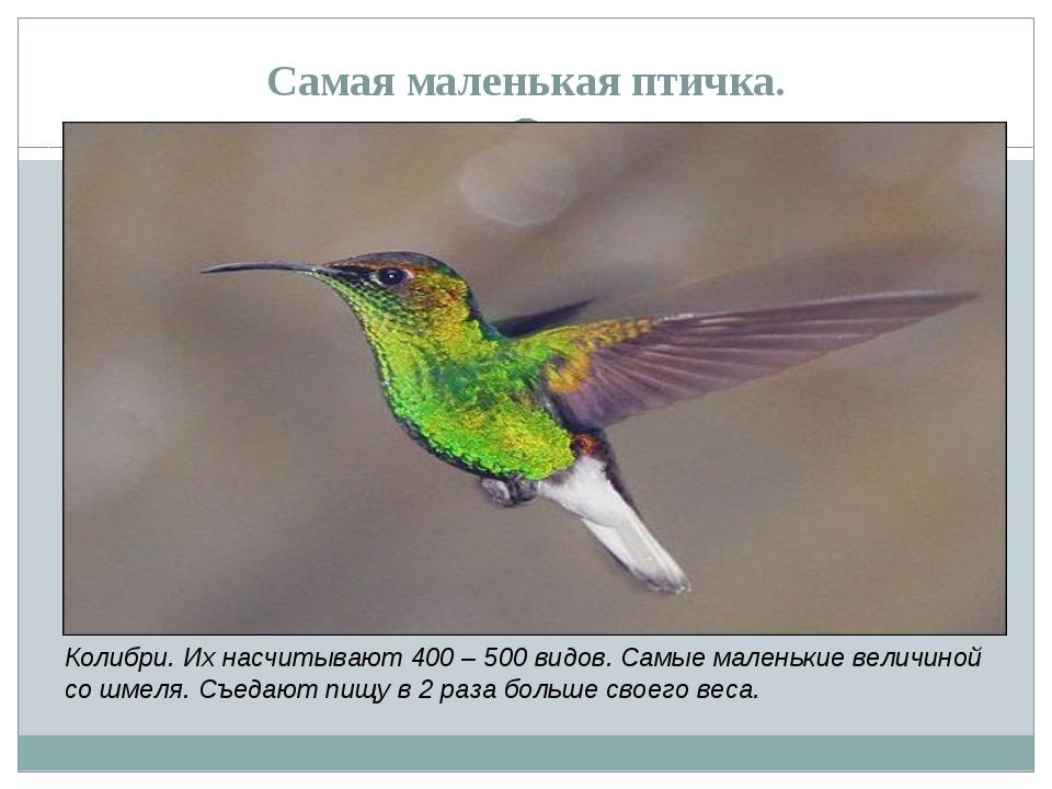 Самая маленькая птичка. Колибри. Их насчитывают 400 – 500 видов. Самые малень...