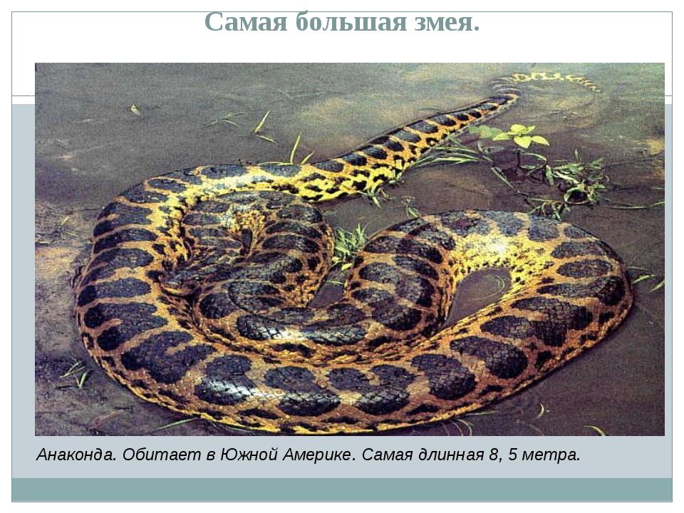 Самая большая змея. Анаконда. Обитает в Южной Америке. Самая длинная 8, 5 мет...