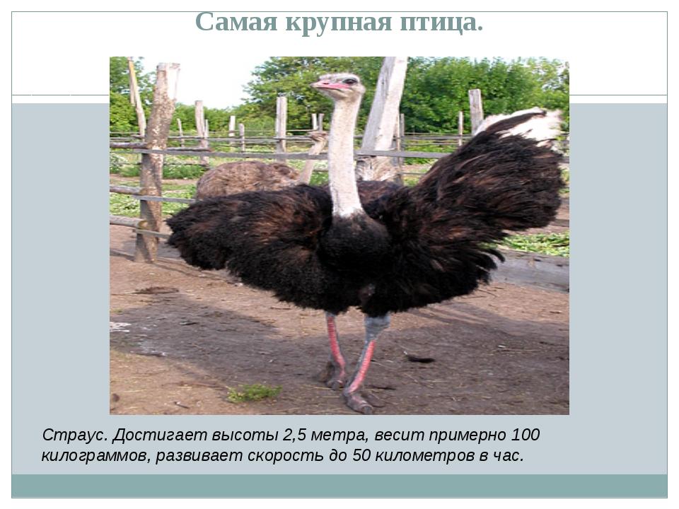 Самая крупная птица. Страус. Достигает высоты 2,5 метра, весит примерно 100 к...