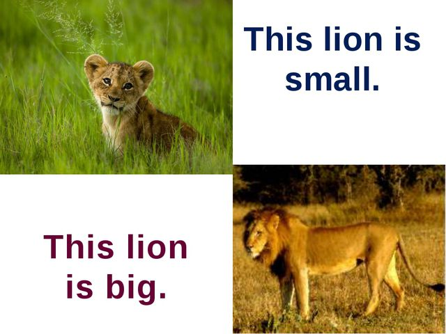 This lion is small. This lion is big.