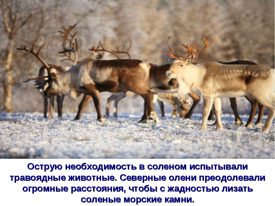 Острую необходимость в соленом испытывали травоядные животные. Северные олени...