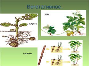 Вегетативное. Клубни Черенки Усы