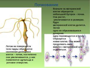 Вначале на материнской клетке образуется небольшой бугорок – почка. Она раст