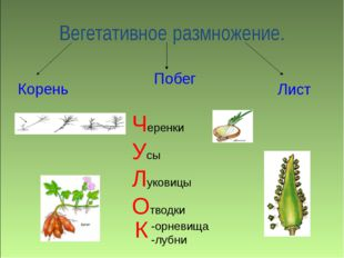 Вегетативное размножение. Корень Побег Лист Черенки Усы Луковицы Отводки -ор
