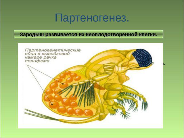 Зародыш развивается без оплодотворения яйцеклетки. Партеногенез. Зародыш разв...