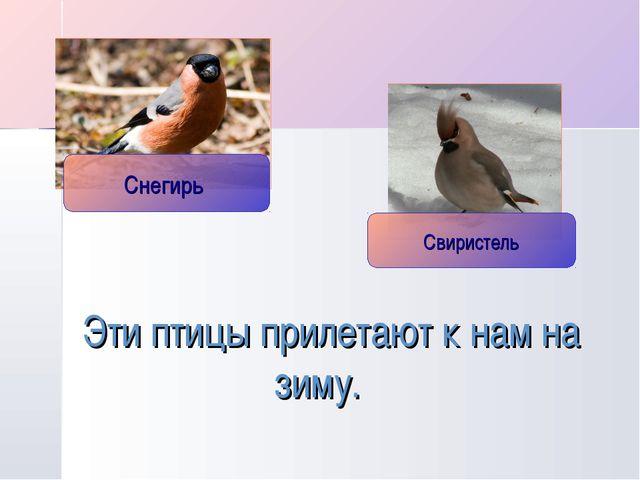 Эти птицы прилетают к нам на зиму.