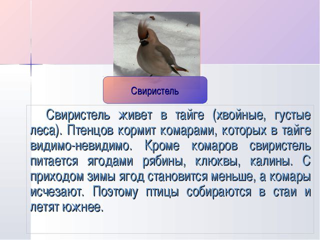 Свиристель живет в тайге (хвойные, густые леса). Птенцов кормит комарами, кот...