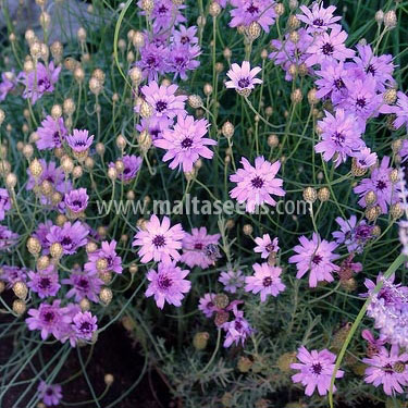 http://www.maltaseeds.com/products/flowers/photos/l/Catananche.jpg