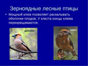 Зерноядные лесные птицы Мощный клюв позволяет раскалывать оболочки плодов. У