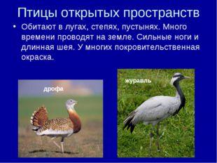 Птицы открытых пространств Обитают в лугах, степях, пустынях. Много времени п