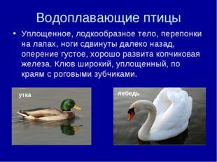 Водоплавающие птицы Уплощенное, лодкообразное тело, перепонки на лапах, ноги