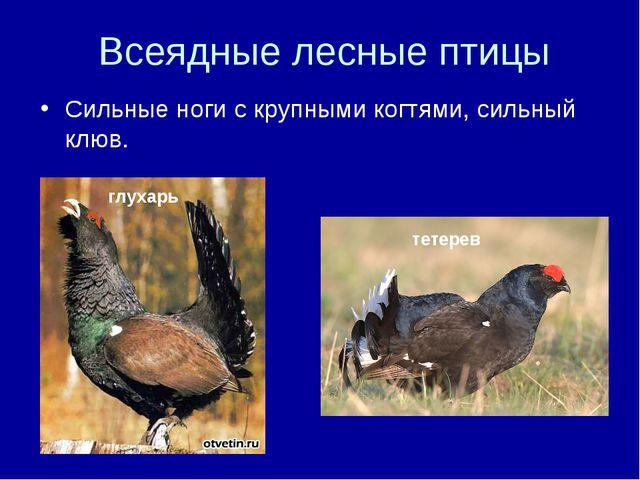 Всеядные лесные птицы Сильные ноги с крупными когтями, сильный клюв. тетерев...