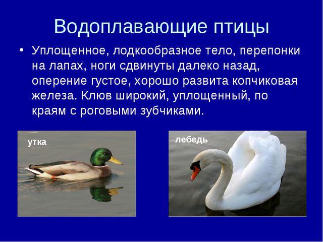 Водоплавающие птицы Уплощенное, лодкообразное тело, перепонки на лапах, ноги...