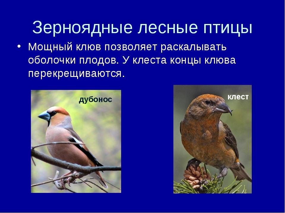 Зерноядные лесные птицы Мощный клюв позволяет раскалывать оболочки плодов. У...
