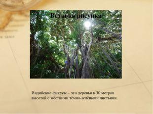 Индийские фикусы – это деревья в 30 метров высотой с жёсткими тёмно-зелёными