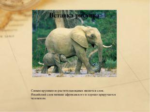 Самым крупным из растительноядных является слон. Индийский слон меньше африка