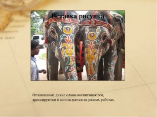 Отловленные дикие слоны воспитываются, дрессируются и используются на разных