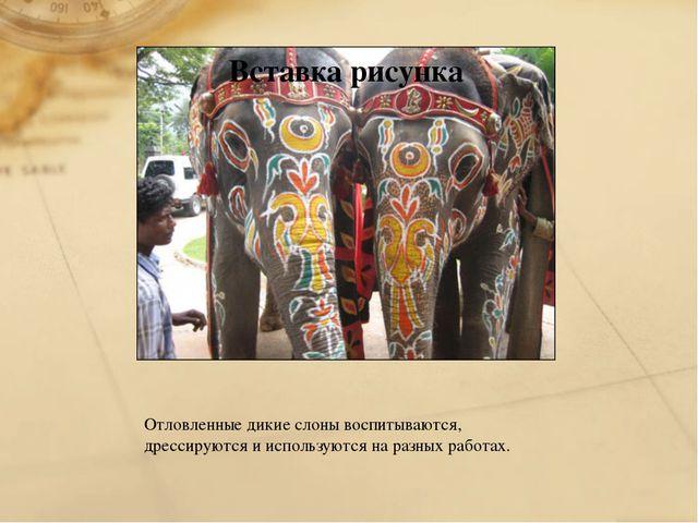 Отловленные дикие слоны воспитываются, дрессируются и используются на разных...