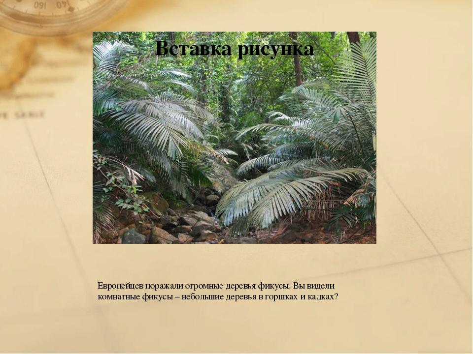 Европейцев поражали огромные деревья фикусы. Вы видели комнатные фикусы – неб...