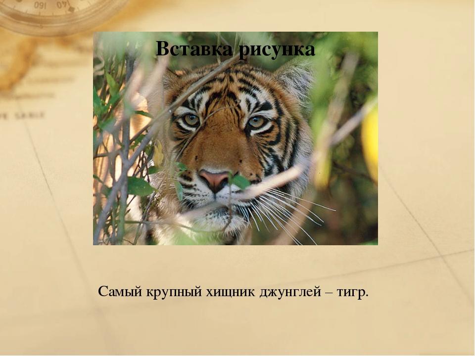 Самый крупный хищник джунглей – тигр.