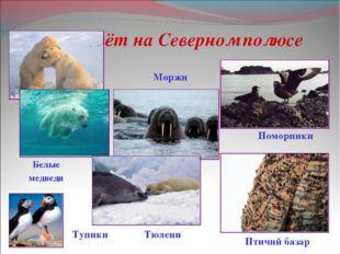 Кто живёт на Северном полюсе Поморники Тупики Тюлени Моржи Белые медведи Птич